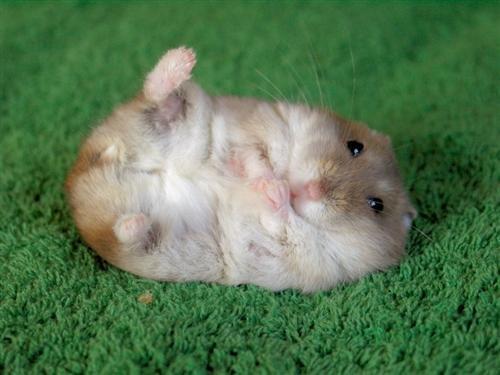 A homeless hamster